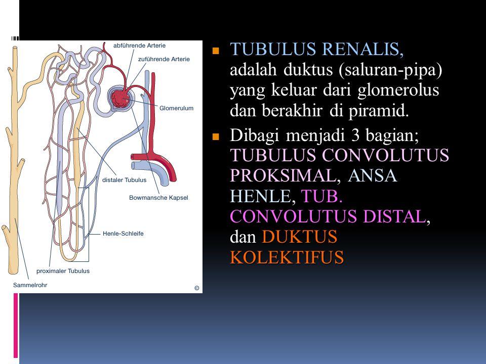 TUBULUS RENALIS, adalah duktus (saluran-pipa) yang keluar dari glomerolus dan berakhir di piramid.