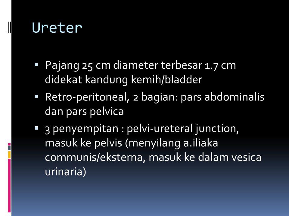 Ureter Pajang 25 cm diameter terbesar 1.7 cm didekat kandung kemih/bladder. Retro-peritoneal, 2 bagian: pars abdominalis dan pars pelvica.