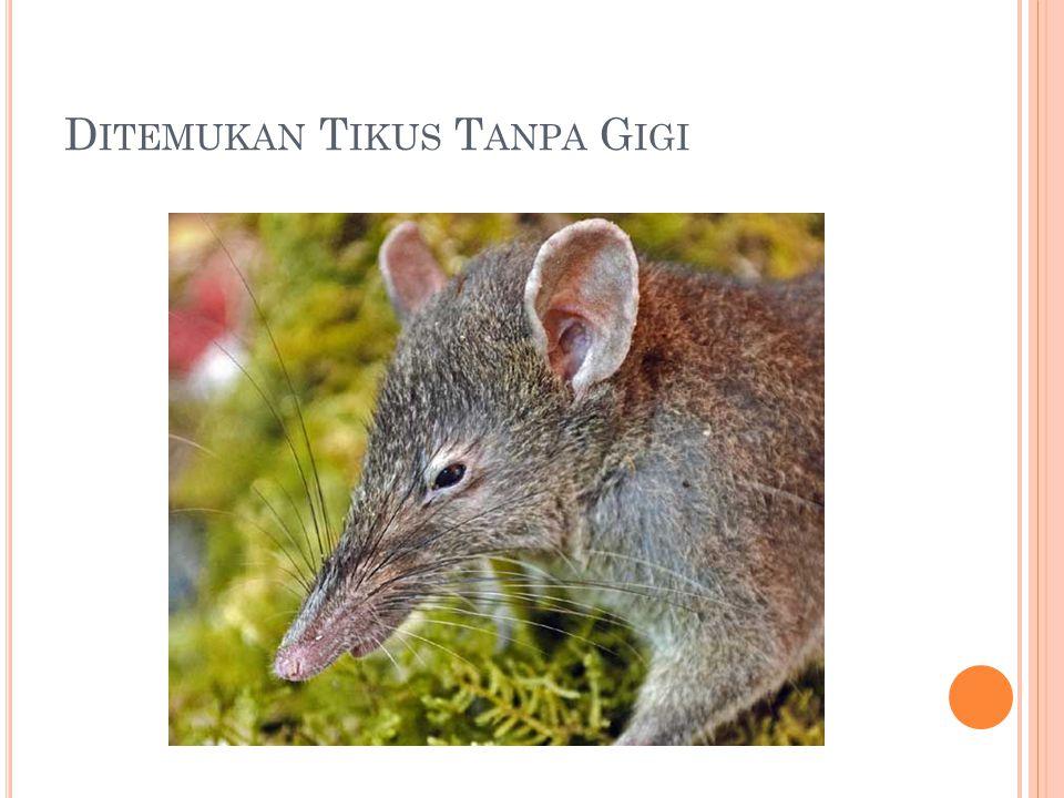 Ditemukan Tikus Tanpa Gigi