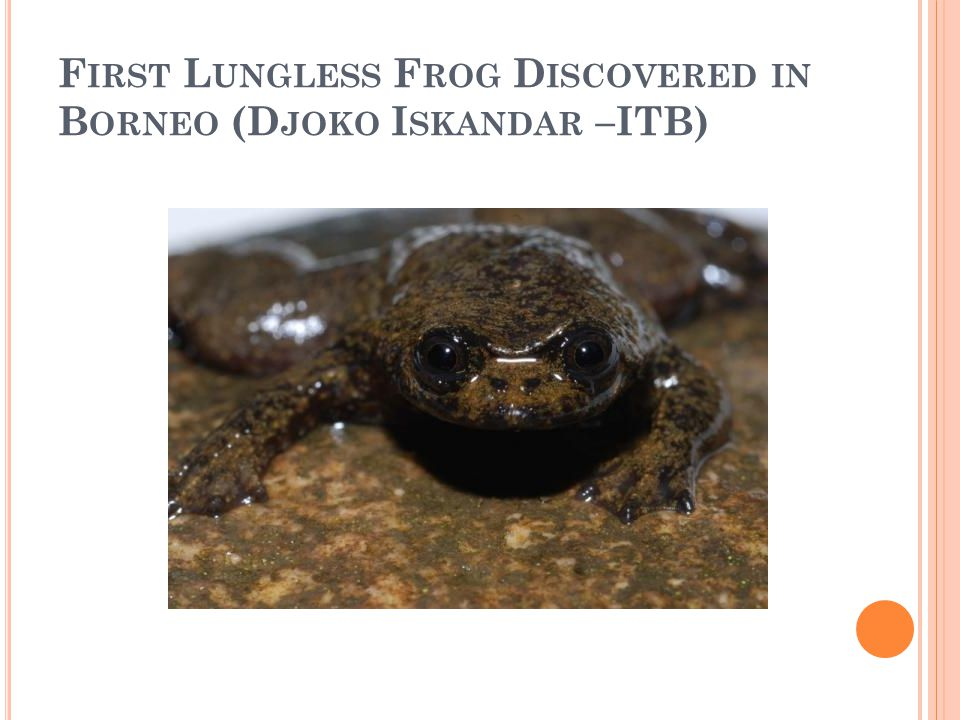 First Lungless Frog Discovered in Borneo (Djoko Iskandar –ITB)