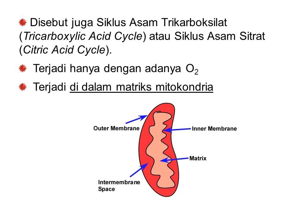 Disebut juga Siklus Asam Trikarboksilat (Tricarboxylic Acid Cycle) atau Siklus Asam Sitrat (Citric Acid Cycle).