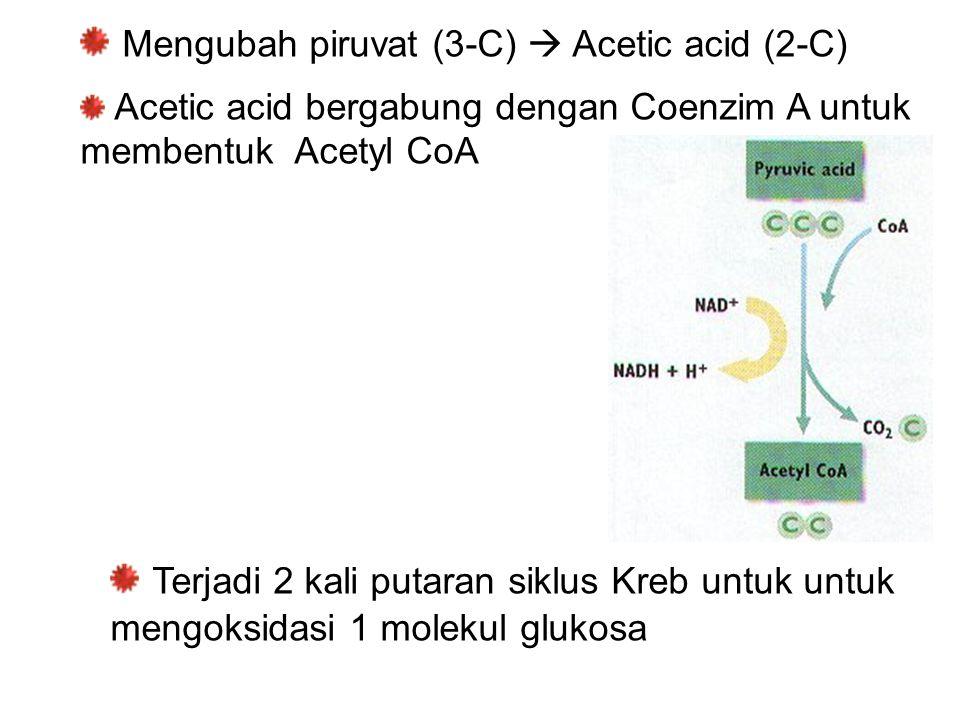 Mengubah piruvat (3-C)  Acetic acid (2-C)
