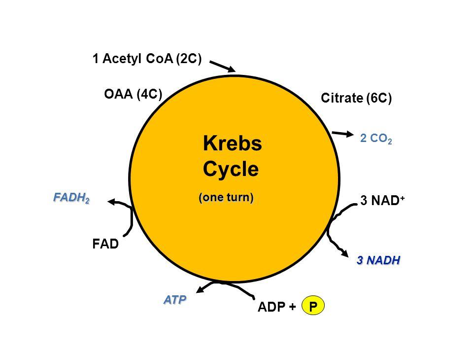 Krebs Cycle 1 Acetyl CoA (2C) 3 NAD+ FAD ADP + P OAA (4C) Citrate (6C)