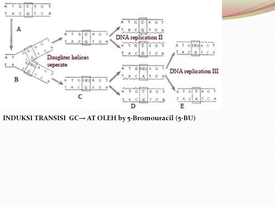INDUKSI TRANSISI GC→ AT OLEH by 5-Bromouracil (5-BU)