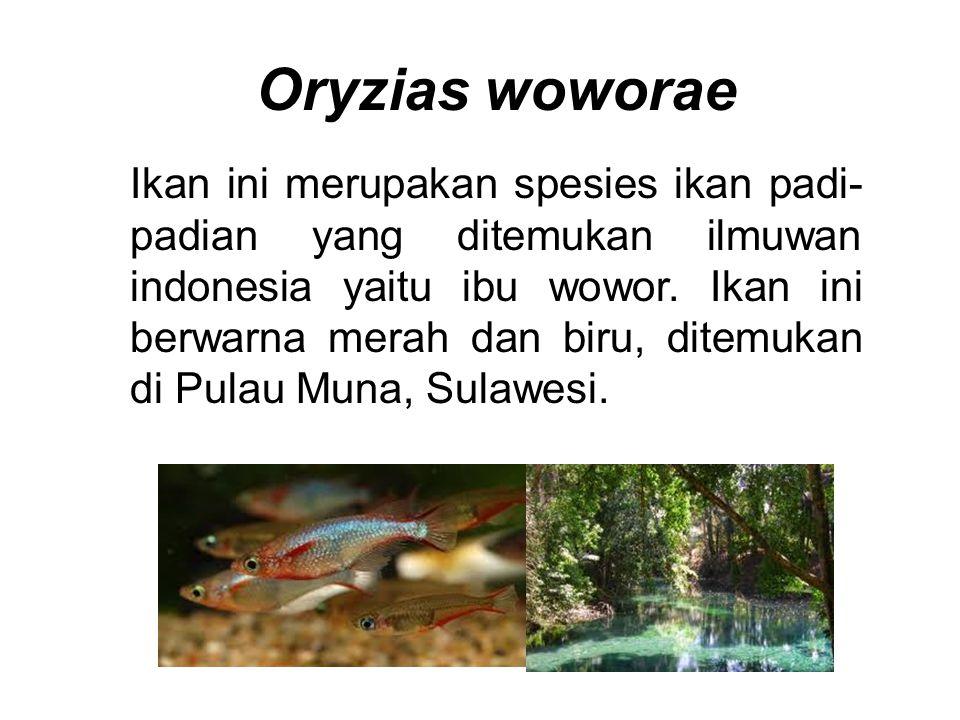 Oryzias woworae
