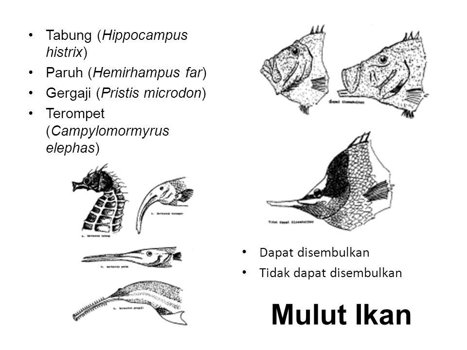 Mulut Ikan Tabung (Hippocampus histrix) Paruh (Hemirhampus far)