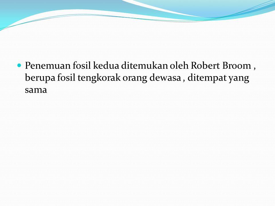 Penemuan fosil kedua ditemukan oleh Robert Broom , berupa fosil tengkorak orang dewasa , ditempat yang sama