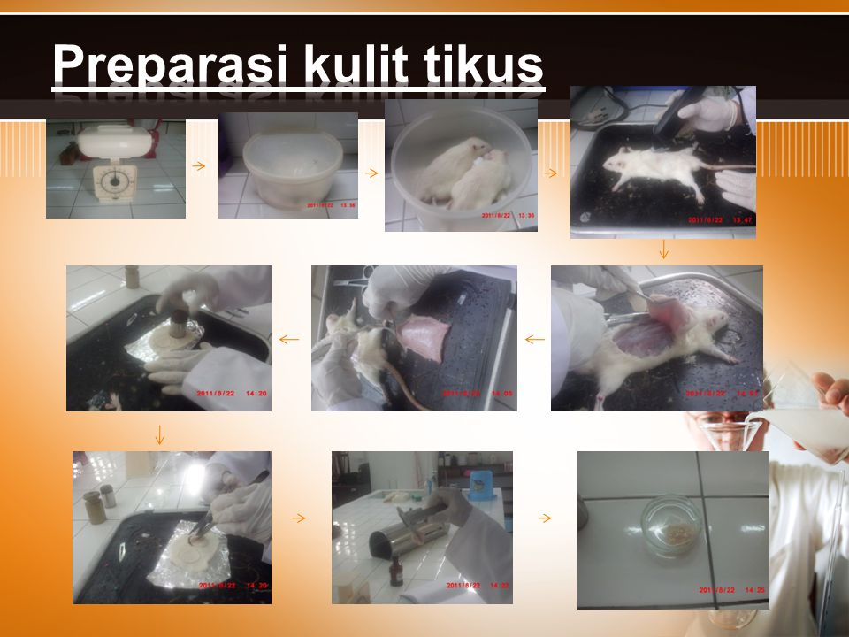 Preparasi kulit tikus
