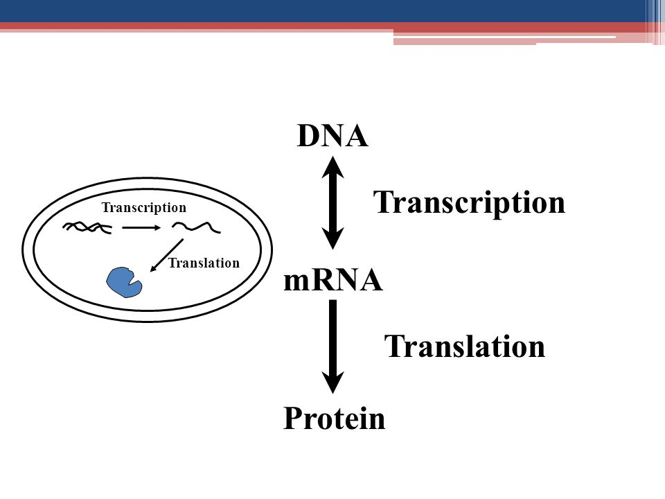 DNA Transcription Transcription Translation mRNA Translation Protein