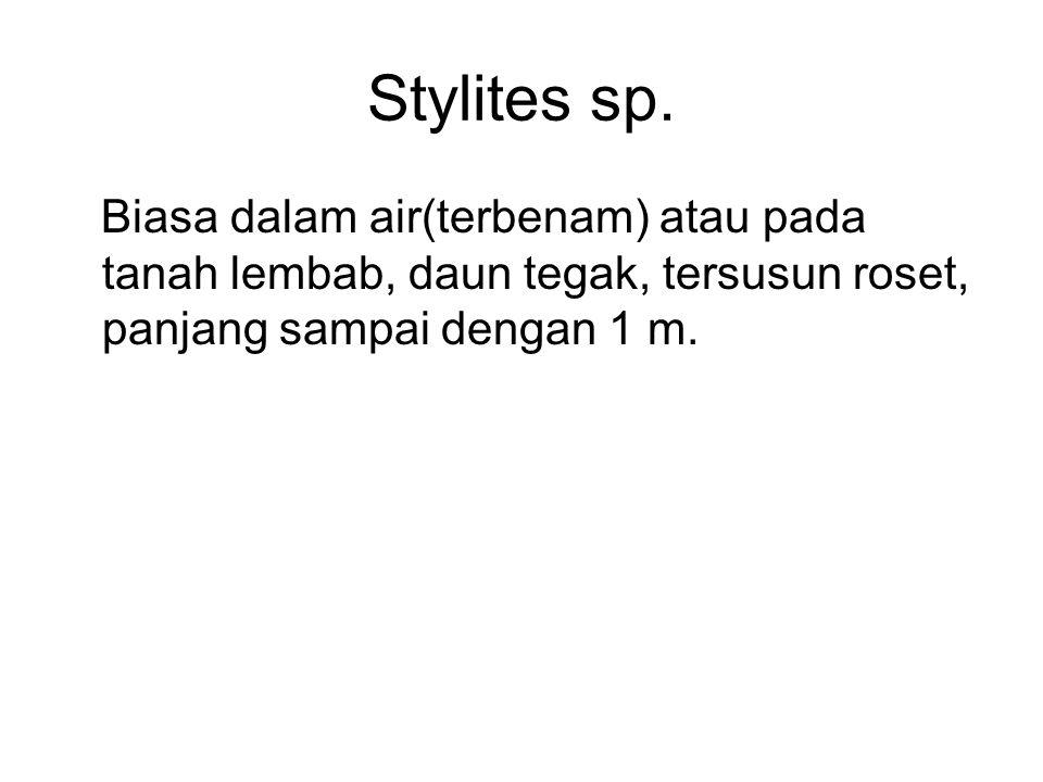 Stylites sp.
