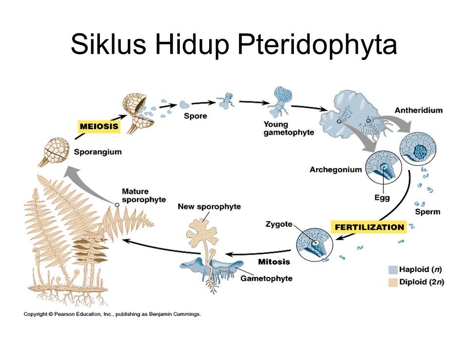Siklus Hidup Pteridophyta