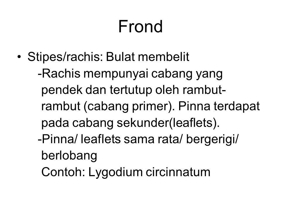 Frond Stipes/rachis: Bulat membelit -Rachis mempunyai cabang yang