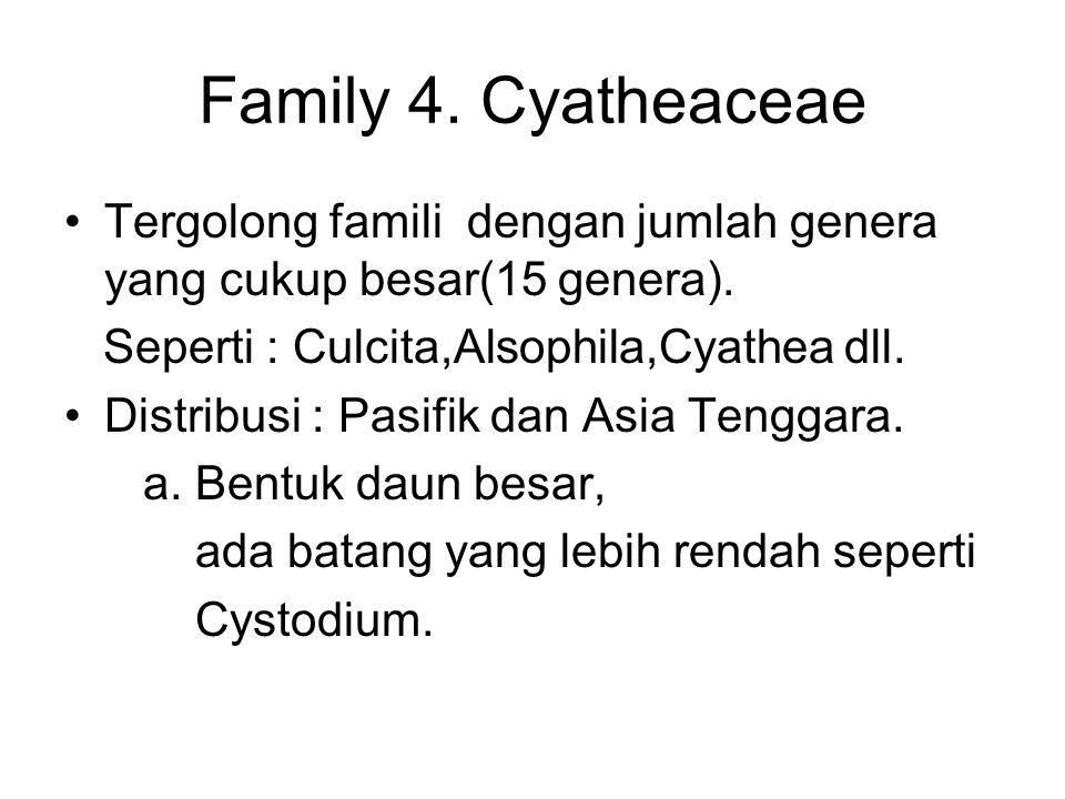 Family 4. Cyatheaceae Tergolong famili dengan jumlah genera yang cukup besar(15 genera). Seperti : Culcita,Alsophila,Cyathea dll.