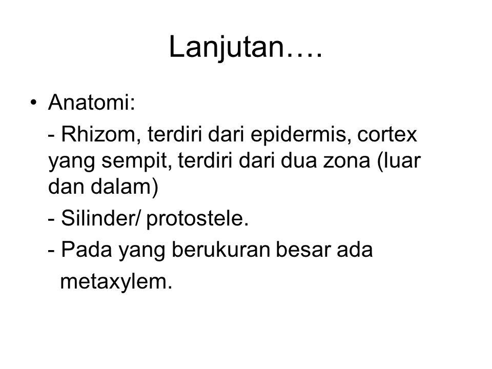 Lanjutan…. Anatomi: - Rhizom, terdiri dari epidermis, cortex yang sempit, terdiri dari dua zona (luar dan dalam)