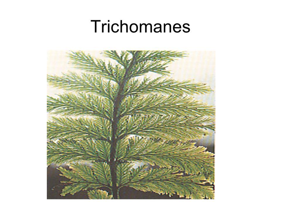 Trichomanes