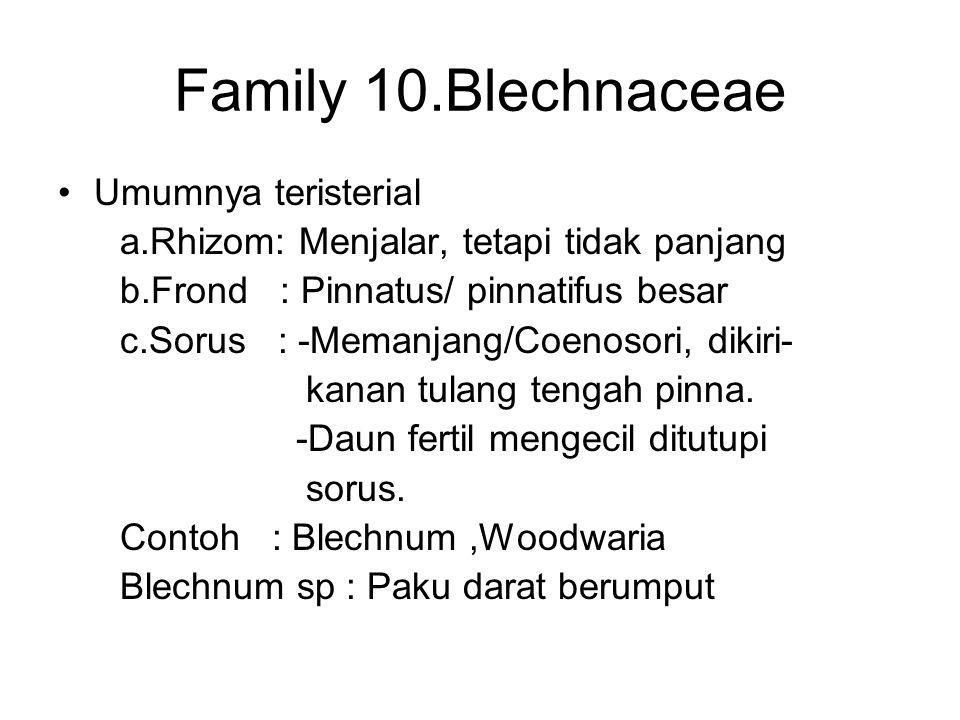 Family 10.Blechnaceae Umumnya teristerial