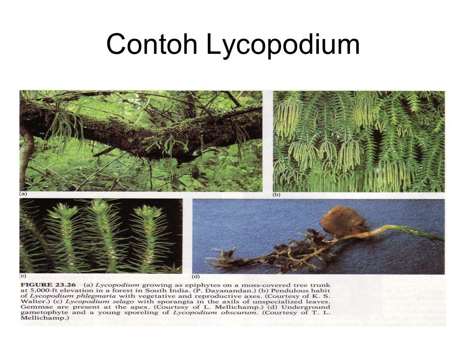 Contoh Lycopodium
