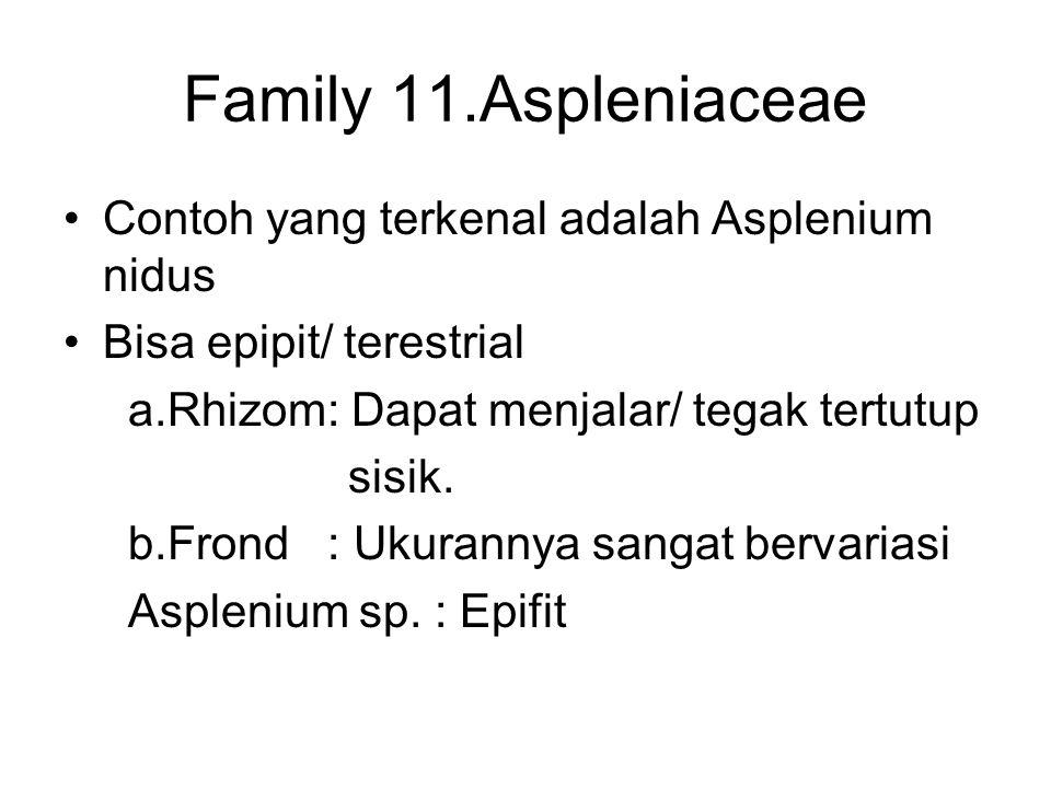 Family 11.Aspleniaceae Contoh yang terkenal adalah Asplenium nidus
