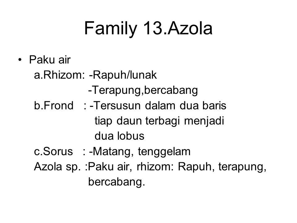 Family 13.Azola Paku air a.Rhizom: -Rapuh/lunak -Terapung,bercabang