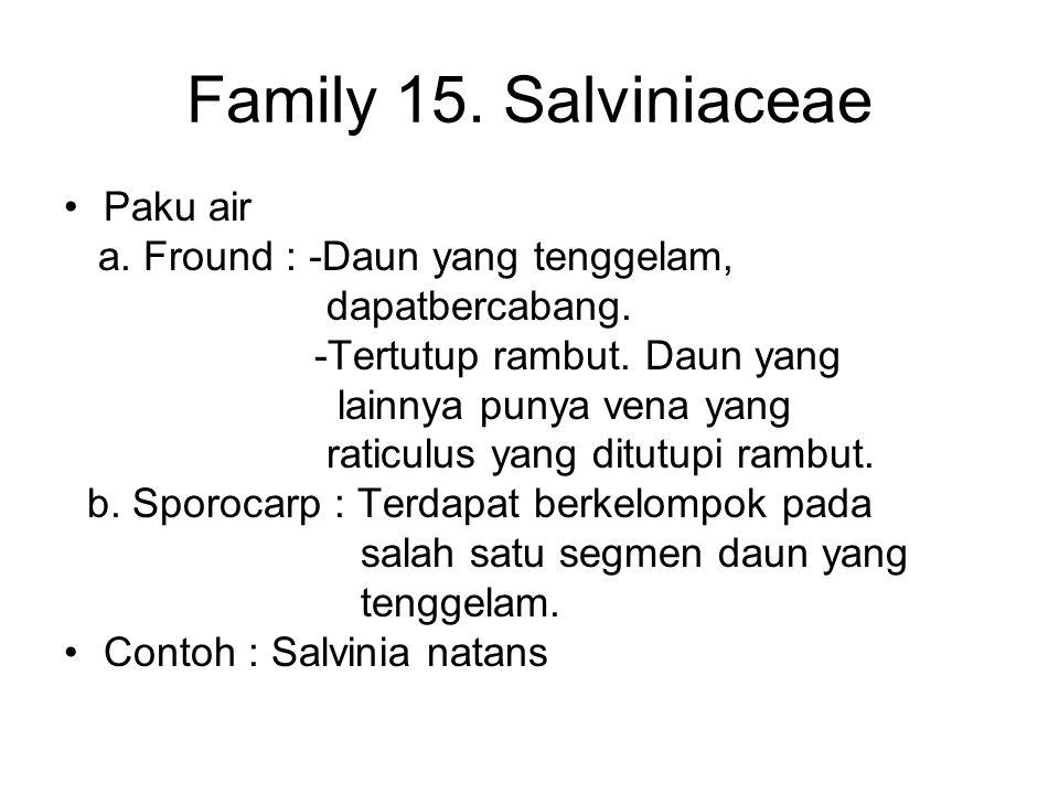 Family 15. Salviniaceae Paku air a. Fround : -Daun yang tenggelam,