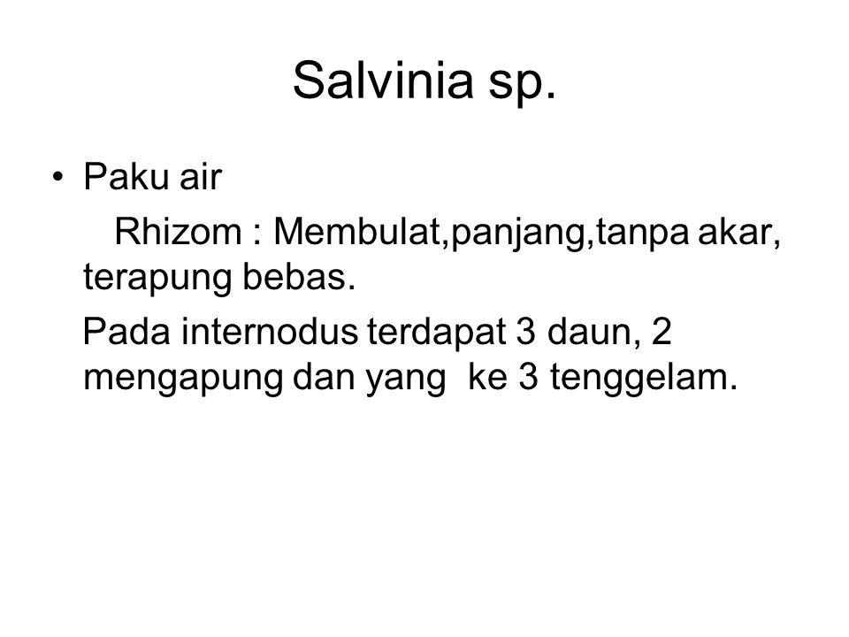 Salvinia sp. Paku air. Rhizom : Membulat,panjang,tanpa akar, terapung bebas.