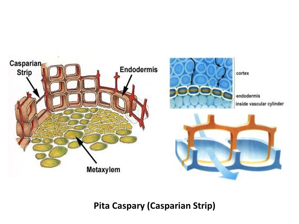 Pita Caspary (Casparian Strip)