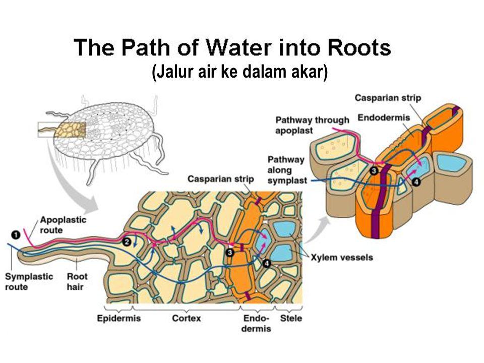 (Jalur air ke dalam akar)