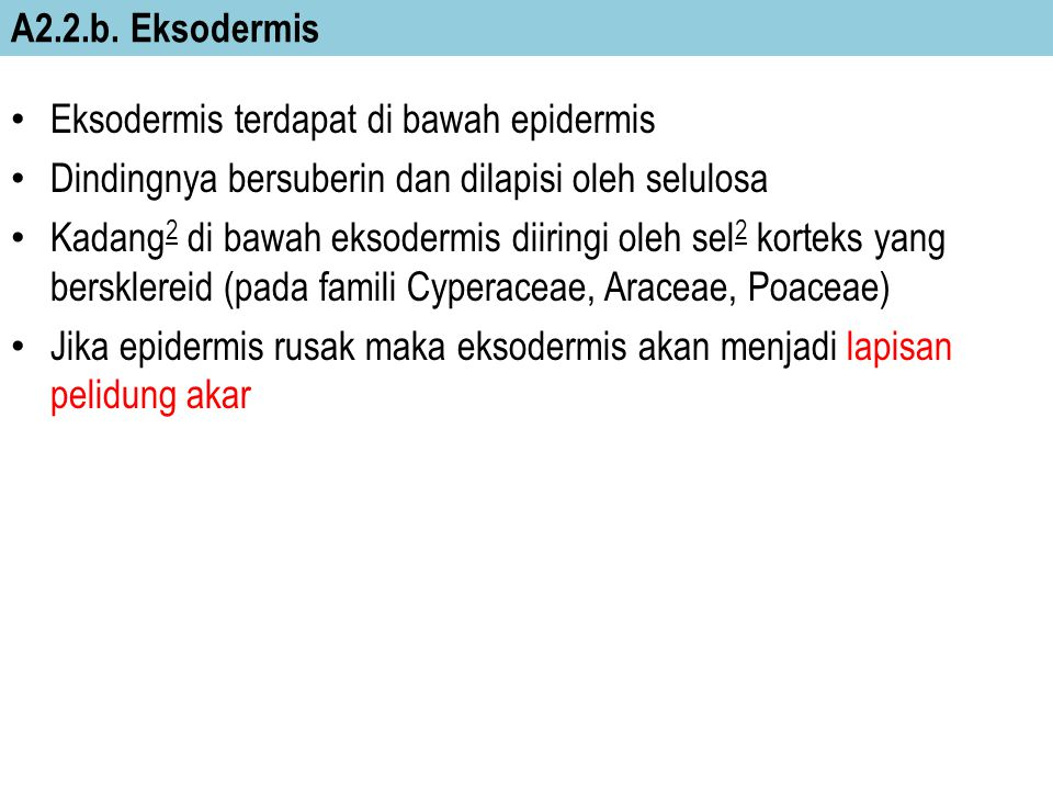 A2.2.b. Eksodermis Eksodermis terdapat di bawah epidermis. Dindingnya bersuberin dan dilapisi oleh selulosa.