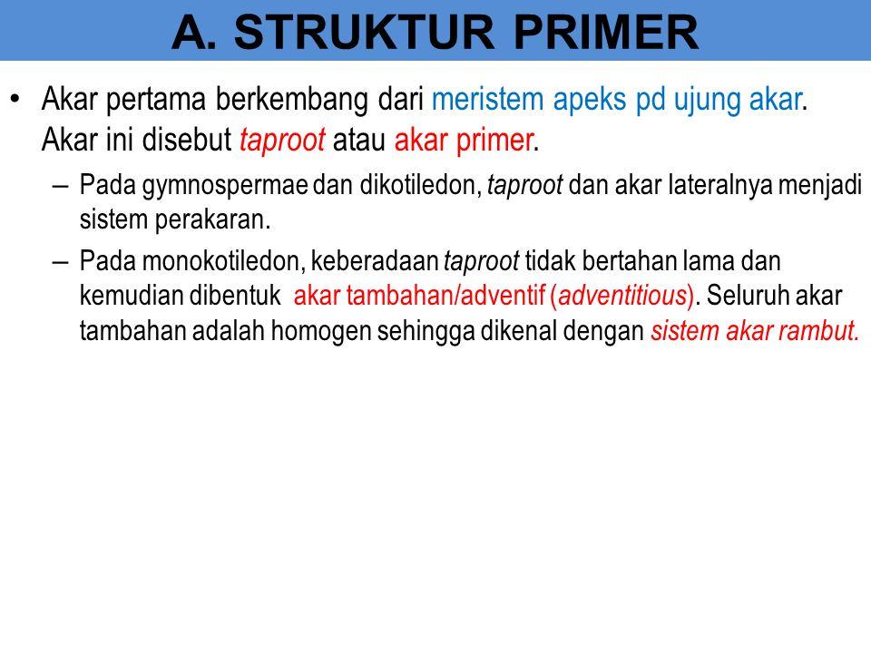 A. STRUKTUR PRIMER Akar pertama berkembang dari meristem apeks pd ujung akar. Akar ini disebut taproot atau akar primer.