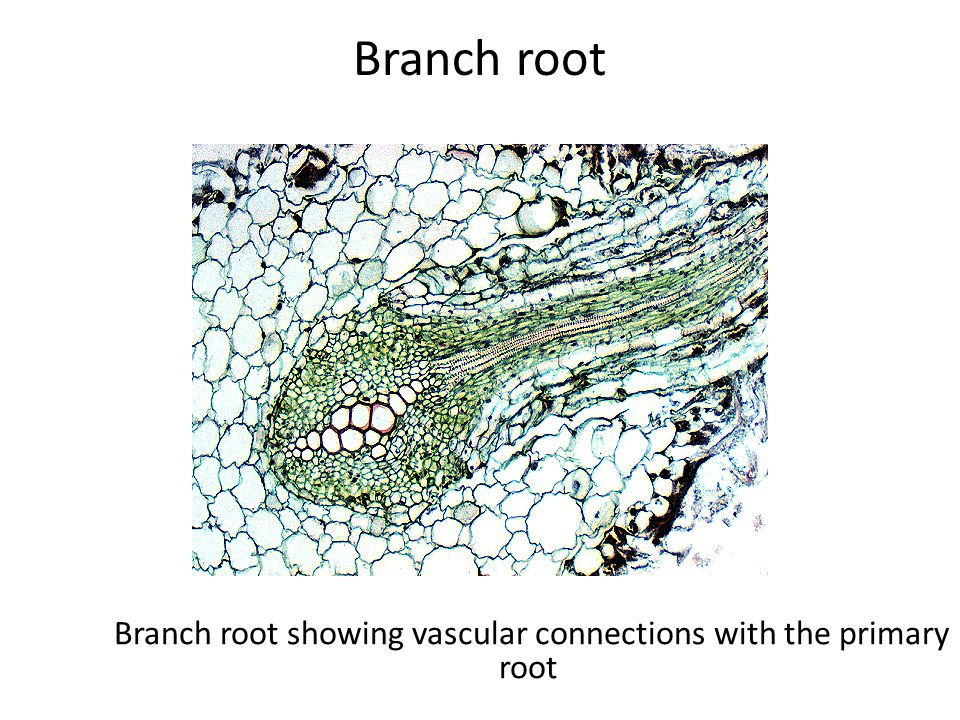 Branch root showing vascular connections with the primary root