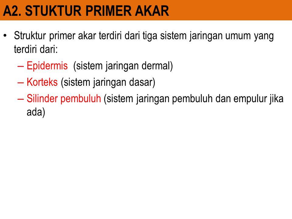 A2. STUKTUR PRIMER AKAR Struktur primer akar terdiri dari tiga sistem jaringan umum yang terdiri dari: