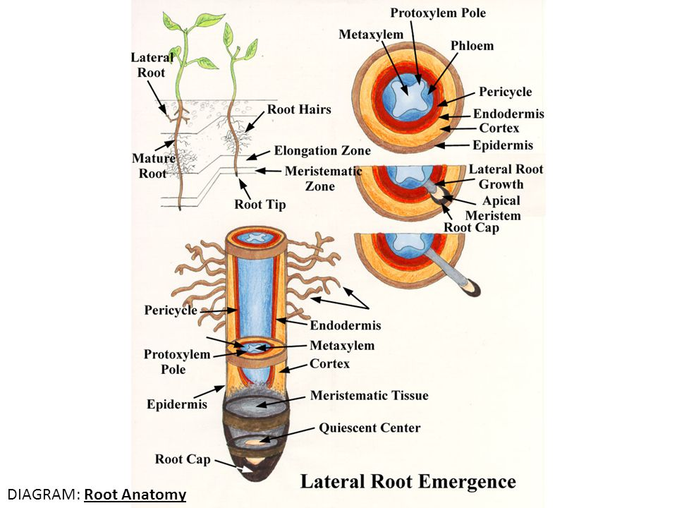 DIAGRAM: Root Anatomy