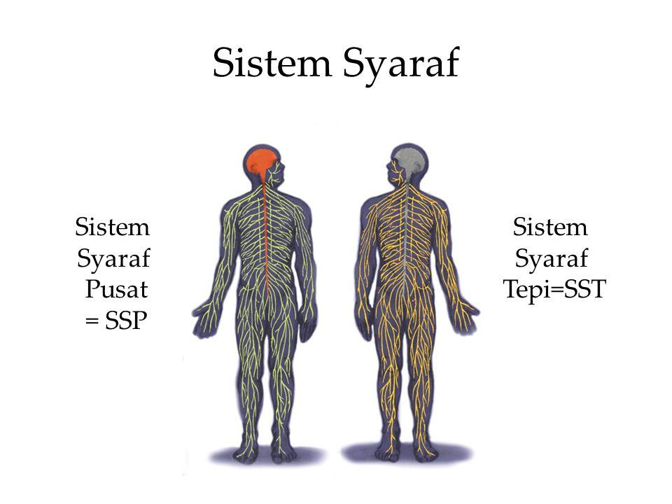 Sistem Syaraf Sistem Syaraf Pusat = SSP Sistem Syaraf Tepi=SST