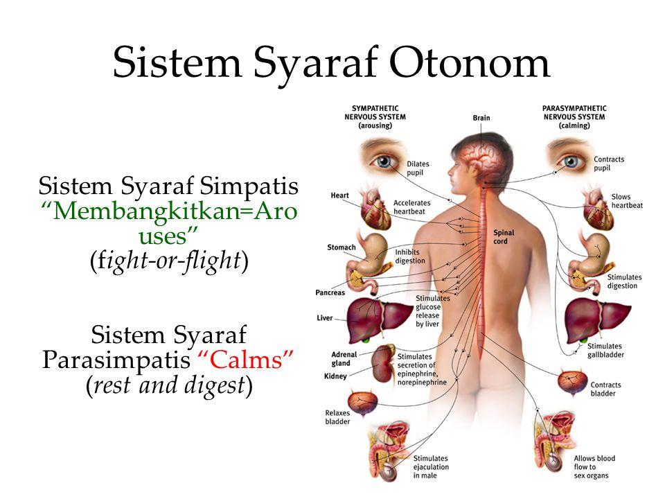 Sistem Syaraf Otonom Sistem Syaraf Simpatis Membangkitkan=Arouses
