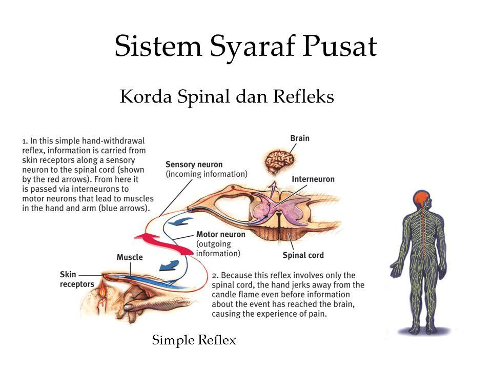 Sistem Syaraf Pusat Korda Spinal dan Refleks Simple Reflex