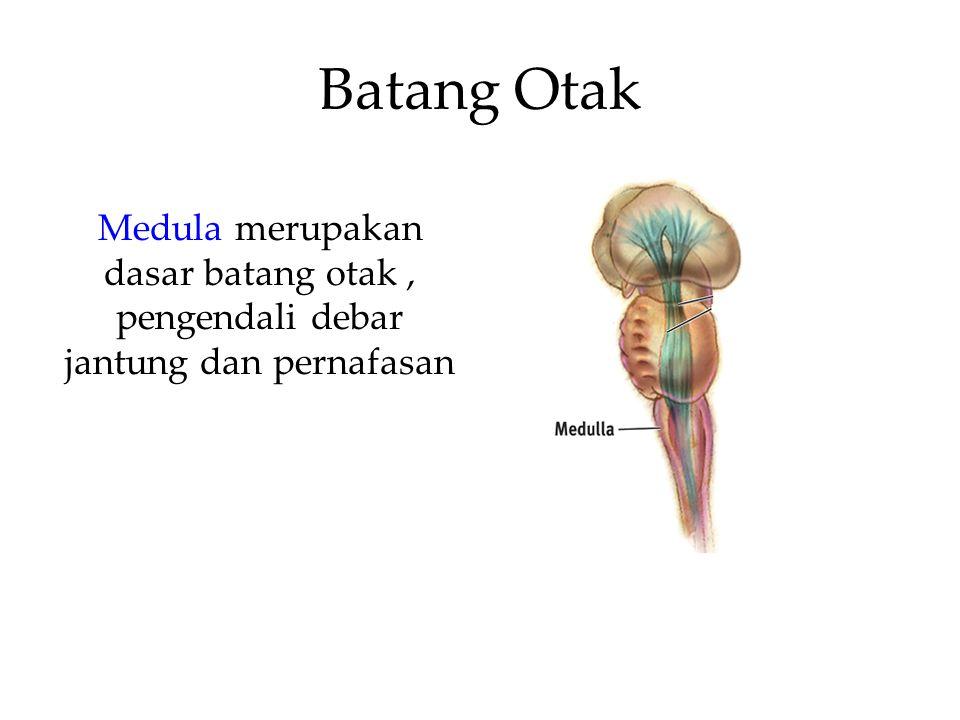Batang Otak Medula merupakan dasar batang otak , pengendali debar jantung dan pernafasan