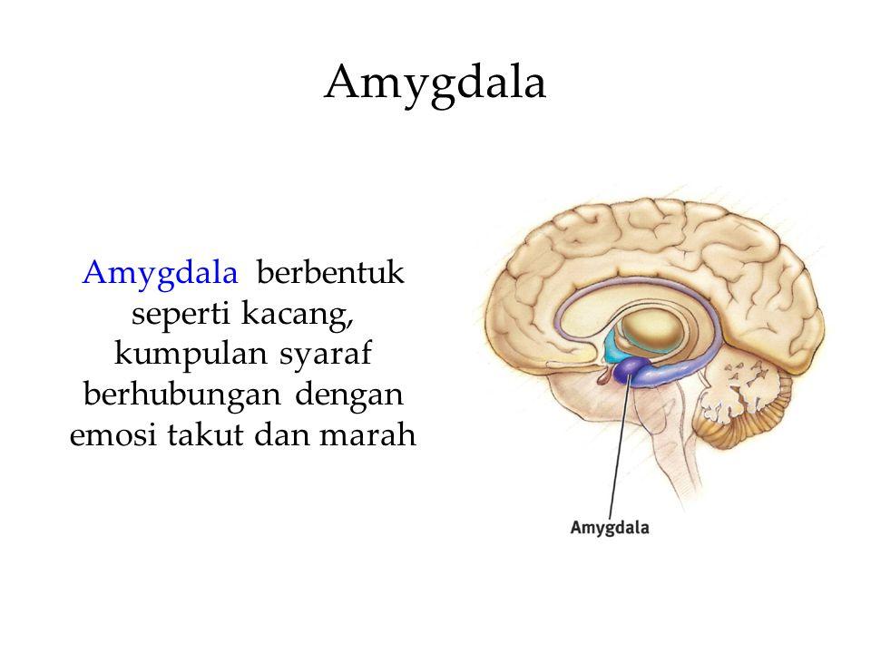 Amygdala Amygdala berbentuk seperti kacang, kumpulan syaraf berhubungan dengan emosi takut dan marah.