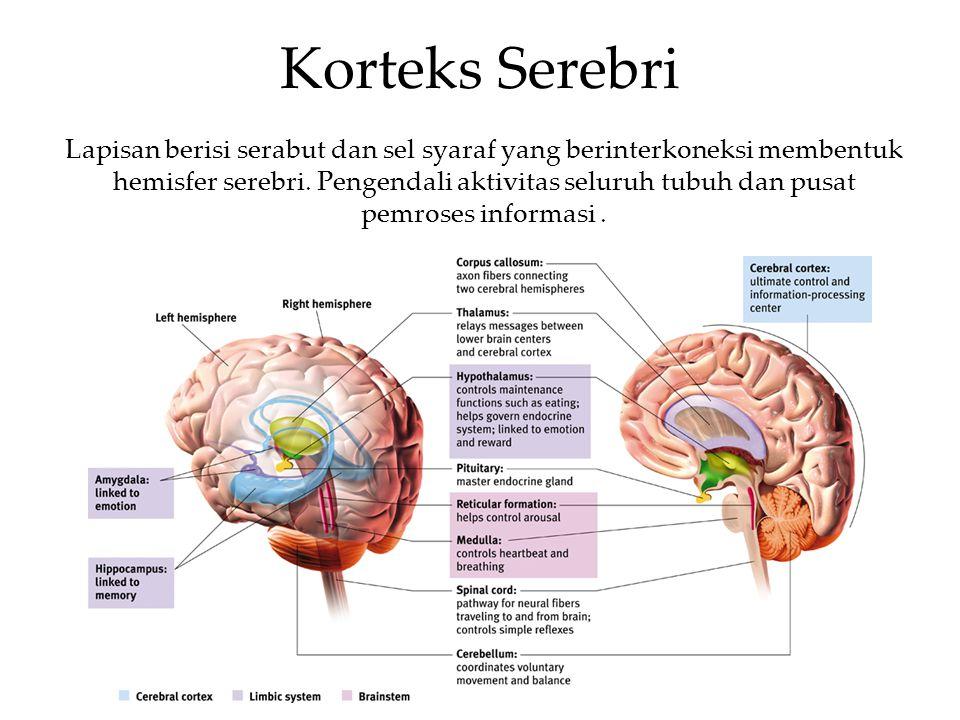 Korteks Serebri