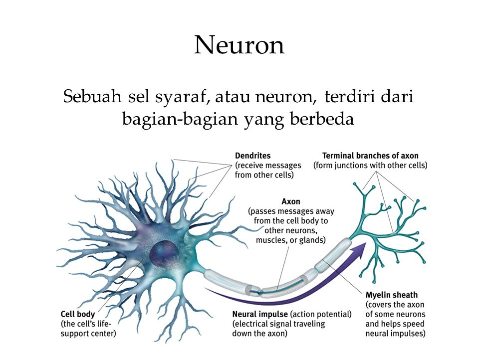 Neuron Sebuah sel syaraf, atau neuron, terdiri dari bagian-bagian yang berbeda.