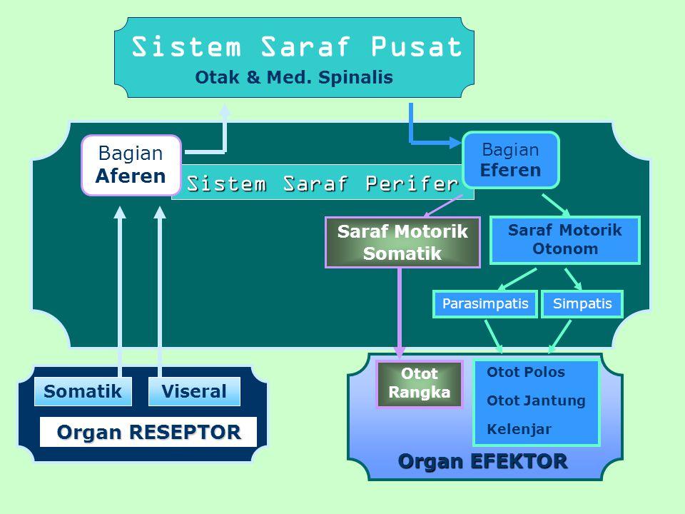 Sistem Saraf Pusat Sistem Saraf Perifer Bagian Aferen Organ RESEPTOR
