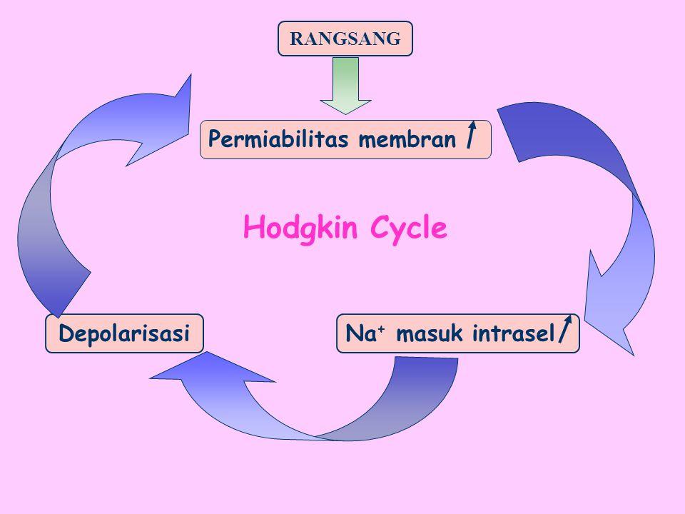 Hodgkin Cycle Permiabilitas membran Depolarisasi Na+ masuk intrasel