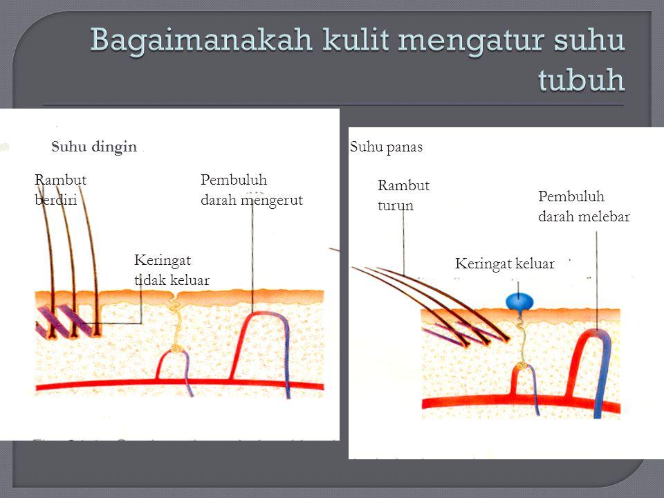 Bagaimanakah kulit mengatur suhu tubuh