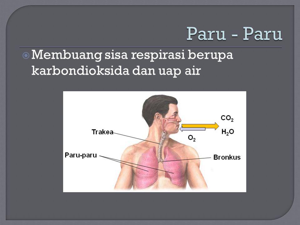 Paru - Paru Membuang sisa respirasi berupa karbondioksida dan uap air