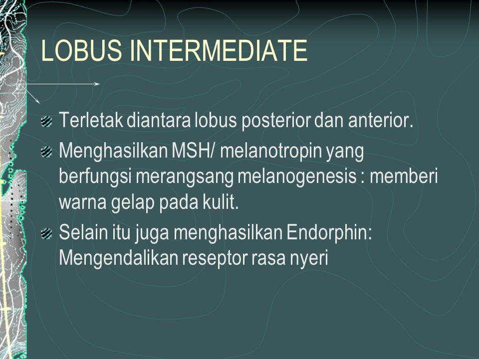 LOBUS INTERMEDIATE Terletak diantara lobus posterior dan anterior.
