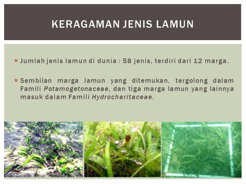 Keragaman jenis lamun Jumlah jenis lamun di dunia : 58 jenis, terdiri dari 12 marga.