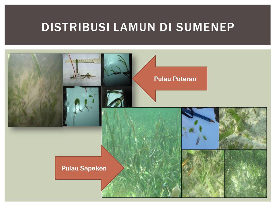 Distribusi lamun di Sumenep