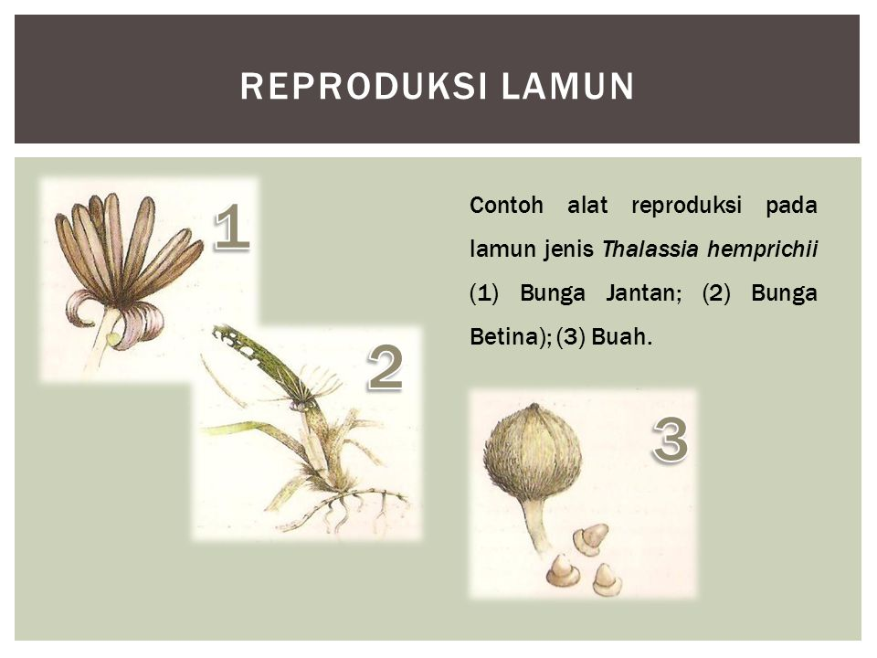 reproduksi lamun 1. Contoh alat reproduksi pada lamun jenis Thalassia hemprichii (1) Bunga Jantan; (2) Bunga Betina); (3) Buah.
