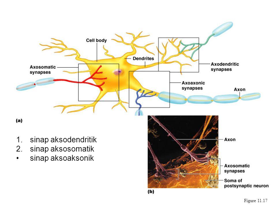 Synapses sinap aksodendritik sinap aksosomatik sinap aksoaksonik