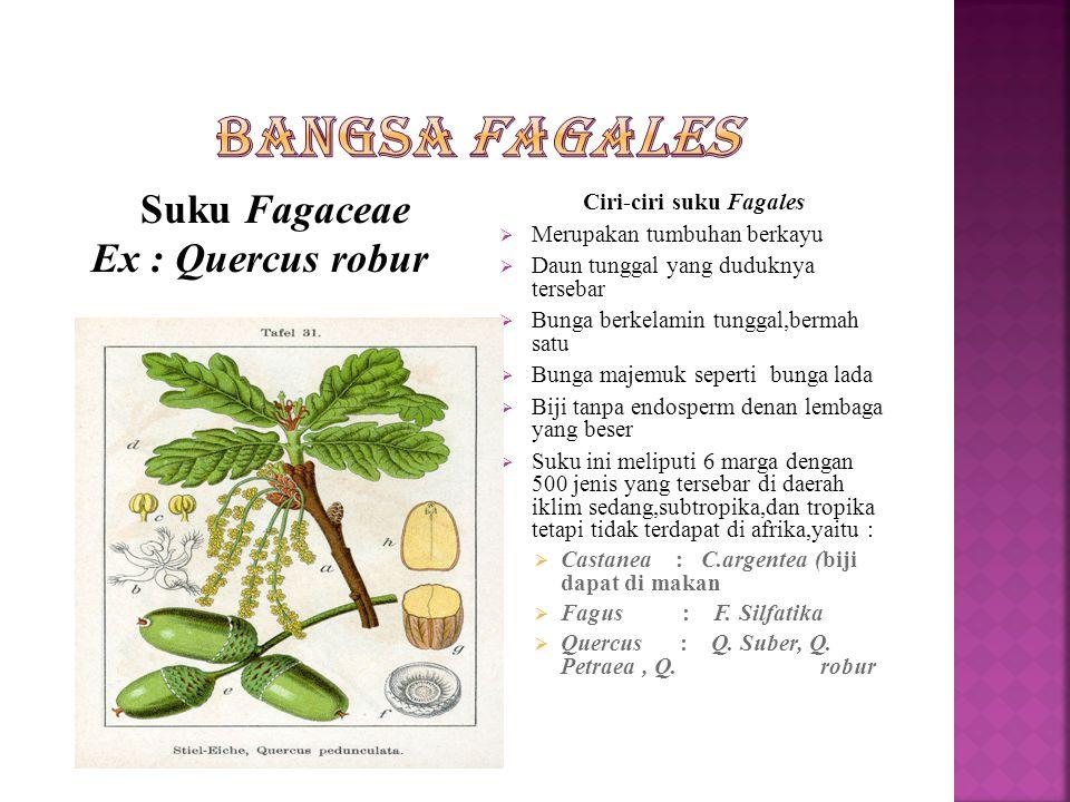 Ciri-ciri suku Fagales