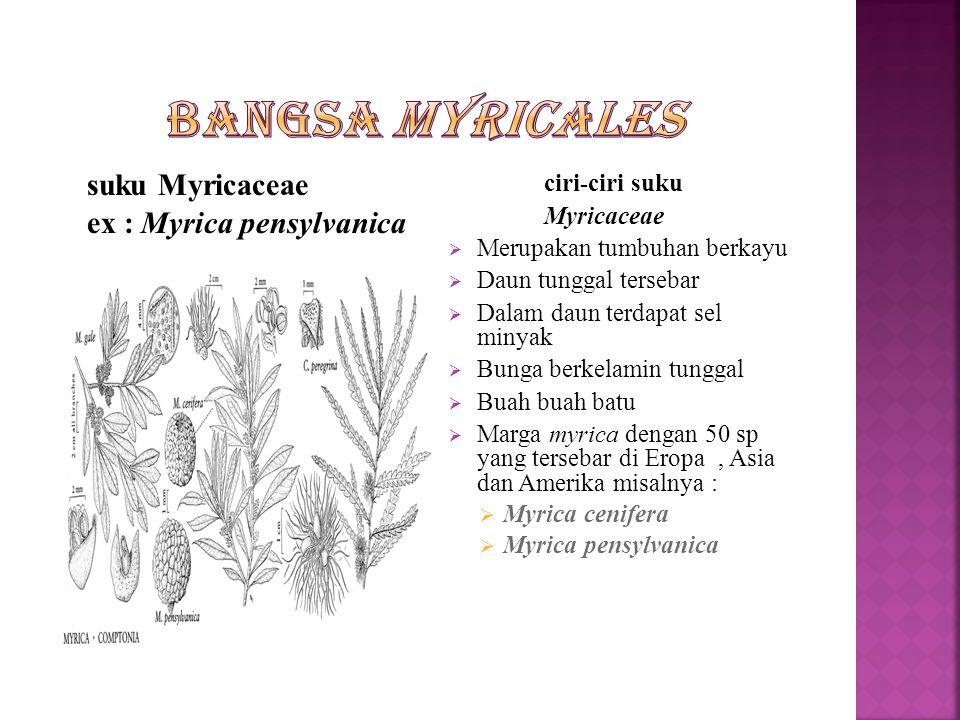 Bangsa Myricales ex : Myrica pensylvanica Myricaceae